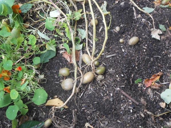 Kartoffeln herausgerissen